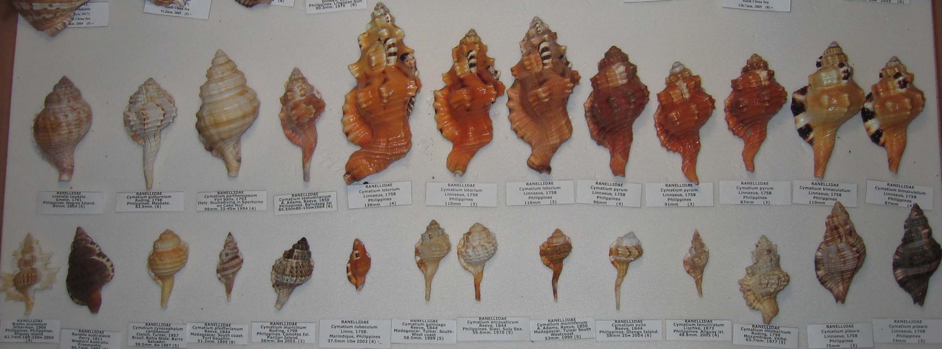 морские раковины фото и названия